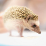 Bokeh Hedgehog